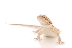 Juvenile Bearded Dragon. On White With Partial Reflection Stock Photo