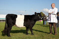 Juvenile Belted Galloway Royalty Free Stock Photography