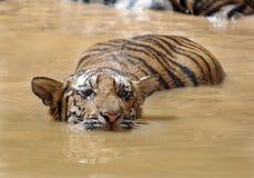 Juvenile bengal tiger swimming,thailand,asia cat. Juvenile male bengal tiger swimming in lake, thailand, asia cat lion leopard stock photos