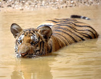 Juvenile bengal tiger swimming,thailand,asia cat stock photos