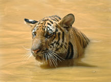 Juvenile bengal tiger swimming,thailand,asia cat. Juvenile male bengal tiger swimming in lake, thailand, asia cat lion leopard Stock Photo