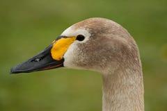 Juvenile Bewicks swan. Photo portrait of a juvenile Bewicks swan royalty free stock images