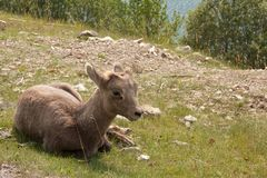 Juvenile big horn sheep. Sitting in the grass Stock Photo