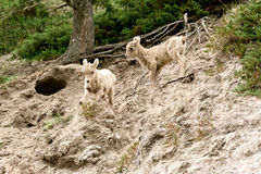 Juvenile Bighorn sheeps (Ovis canadensis) Stock Photography