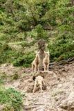 Juvenile Bighorn sheeps (Ovis canadensis) Stock Photos