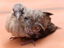 A juvenile bird on The Ground. Close up picture of a juvenile bird on The Ground stock photos
