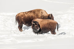 Juvenile Bison with Cow Stock Image