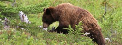Juvenile Black Bear Foraging. A wide crop of a juvenile Black Bear foraging at Mount Rainier National Park stock photos