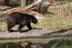 Juvenile Black Bear Stock Photography