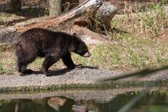 Juvenile Black Bear. Young, juvenile Florida black bear Stock Photography