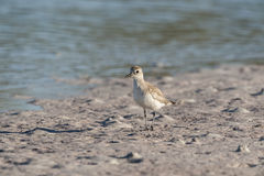 Juvenile Black-bellied Plover late afternoon shadow Royalty Free Stock Images