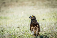 Juvenile Black-chested snake eagle in the grass. Stock Photo