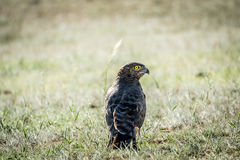 Juvenile Black-chested snake eagle in the grass. Stock Photography