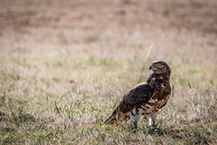 Juvenile Black-chested snake eagle in the grass. Stock Photos