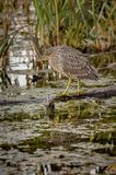 Juvenile black crown night heron fishing with reflection, Quebec Royalty Free Stock Photos