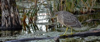 Juvenile black crown night heron waiting for a snack, Quebec, Ca Royalty Free Stock Images