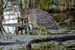 Juvenile black crown night heron waiting for a snack, Quebec, Ca Stock Photo