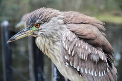 Juvenile Black Crowned Heron Stock Photo