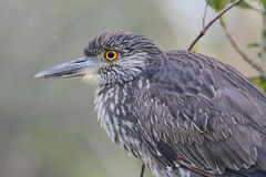 Juvenile Black-crowned Night-Heron Royalty Free Stock Image