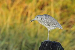 Juvenile Black-crowned Night-Heron Stock Images