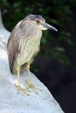 Juvenile Black Crowned Night Heron stock image