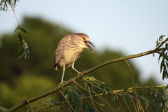 Juvenile Black-Crowned Night Heron. Against a blurred background Stock Image