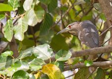 A juvenile Black-crowned Night Heron in the bush Royalty Free Stock Photo