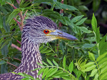 Juvenile Black-crowned Night Heron Close Up Stock Photography