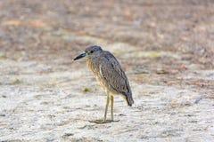 Juvenile Black-Crowned Night-Heron Stock Photo
