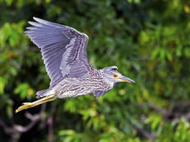 Juvenile Black-crowned Night Heron Royalty Free Stock Photos