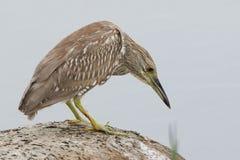 Juvenile Black-crowned Night Heron - Florida Stock Photos