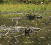 Juvenile Black Crowned Night Heron Royalty Free Stock Photos
