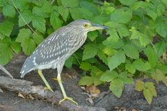 Juvenile Black Crowned Night Heron Royalty Free Stock Images