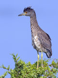 Juvenile Black-crowned Night Heron Royalty Free Stock Images
