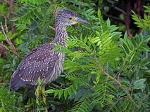 Juvenile Black-crowned Night Heron Royalty Free Stock Photo