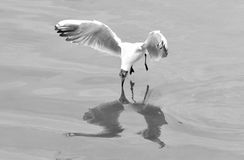 Juvenile black-headed gull (Chroicocephalus ridibundus) hovering with beak touching water. Gull reflected in the Caspian Sea whilst hunting fish, in black and Stock Photos