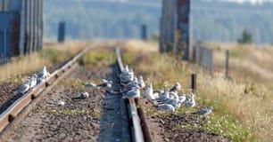 Juvenile Black-Headed Gull Chroicocephalus ridibundus on rails Royalty Free Stock Photography
