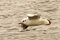 Juvenile black headed gull flying over water. Winter plumage  Chroicocephalus ridibundus Stock Image
