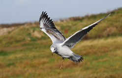 Juvenile Black headed gull(Larus ridibundus) Stock Photos