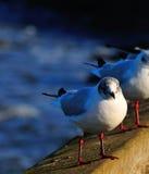 Juvenile Black Headed Gull. Stock Images