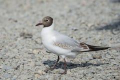 Juvenile Black Headed Gull Stock Photo