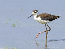 Juvenile Black-necked Stilt Royalty Free Stock Images