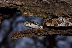 Juvenile black rat snake in tree Royalty Free Stock Photos