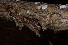 Juvenile black rat snake in tree Royalty Free Stock Image