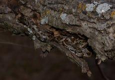 Juvenile black rat snake in tree Royalty Free Stock Images
