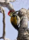 A black-rumped flameback woodpecker Stock Photography