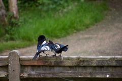 Young magpie being fed by parent on a fence stock photos