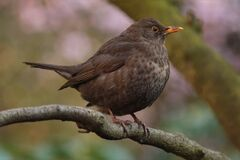 Juvenile blackbird Stock Photography