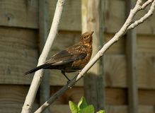 Juvenile blackbird Royalty Free Stock Photography