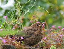 Juvenile blackbird Royalty Free Stock Image